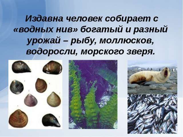 Издавна человек собирает с «водных нив» богатый и разный урожай – рыбу, молл...