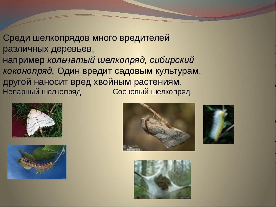 Среди шелкопрядов много вредителей различных деревьев, например кольчатый шел...