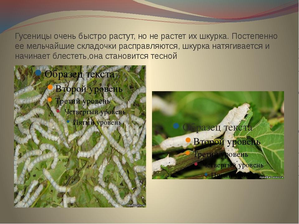 Гусеницы очень быстро растут, но не растет их шкурка. Постепенно ее мельчайши...