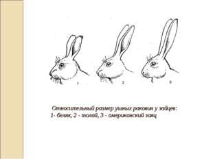 Относительный размер ушных раковин у зайцев: 1- беляк, 2 - толай, 3 - америк