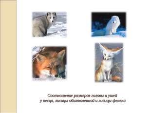 Соотношение размеров головы и ушей у песца, лисицы обыкновенной и лисицы фен