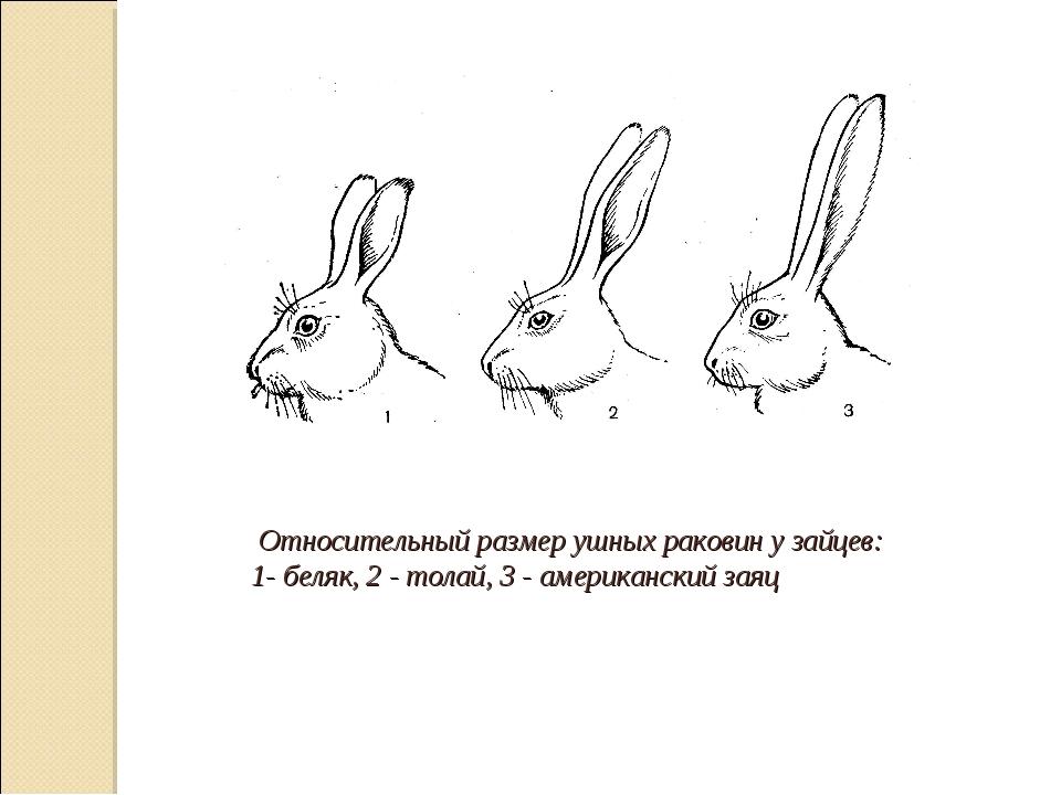 Относительный размер ушных раковин у зайцев: 1- беляк, 2 - толай, 3 - америк...