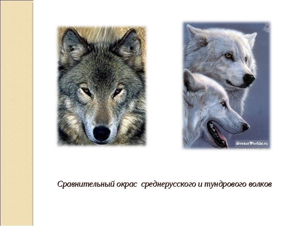 Сравнительный окрас среднерусского и тундрового волков