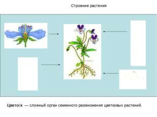 Строение растения Цвето́к — сложный орган семенного размножения цветковых рас