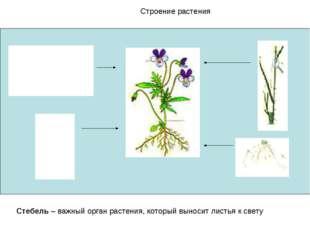 Строение растения Стебель – важный орган растения, который выносит листья к с