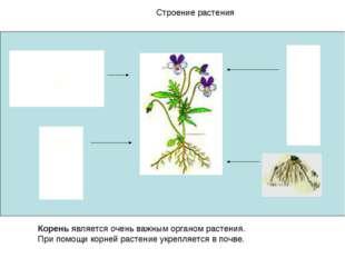 Строение растения Корень является очень важным органом растения. При помощи