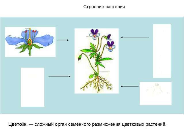 Строение растения Цвето́к — сложный орган семенного размножения цветковых рас...