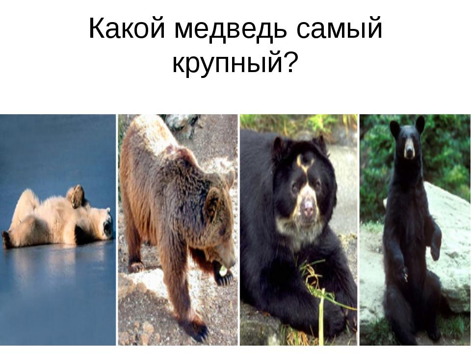 Какой медведь самый крупный?