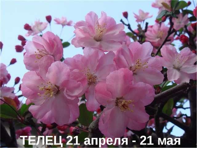 ТЕЛЕЦ 21 апреля - 21 мая
