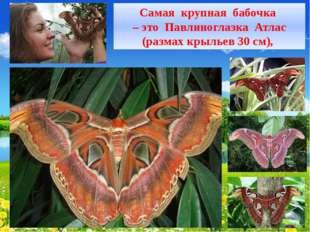 Самая крупная бабочка – это Павлиноглазка Атлас (размах крыльев 30 см),