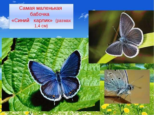 Самая маленькая бабочка «Синий карлик» (размах 1,4 см)