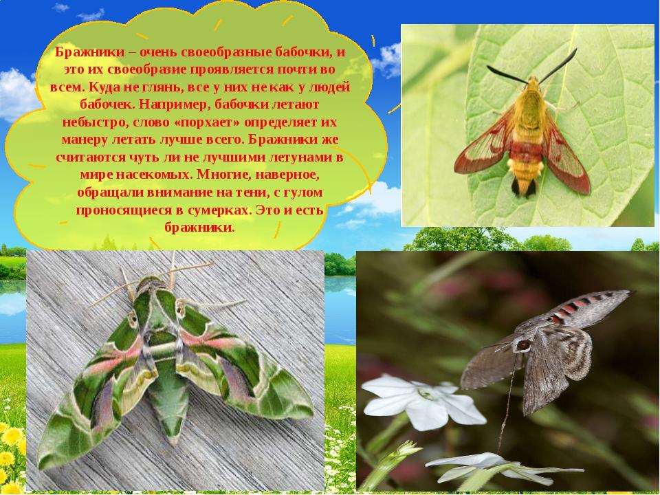 Бражники – очень своеобразные бабочки, и это их своеобразие проявляется почт...