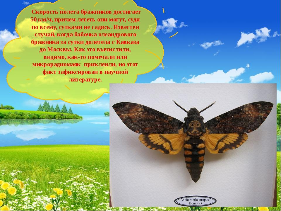Скорость полета бражников достигает 50 км/ч, причем лететь они могут, судя п...