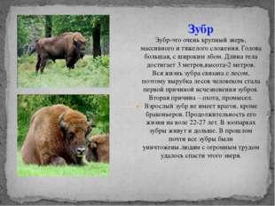 Зубр Зубр-это очень крупный зверь, массивного и тяжелого сложения. Голова бол