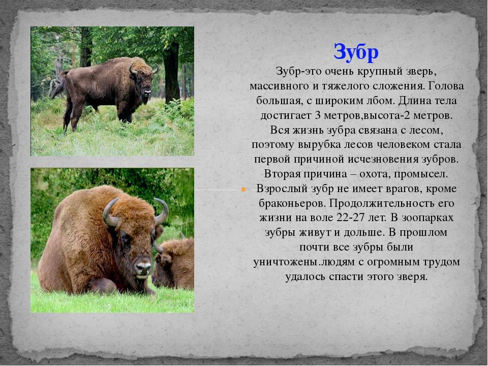 Зубр Зубр-это очень крупный зверь, массивного и тяжелого сложения. Голова бол...