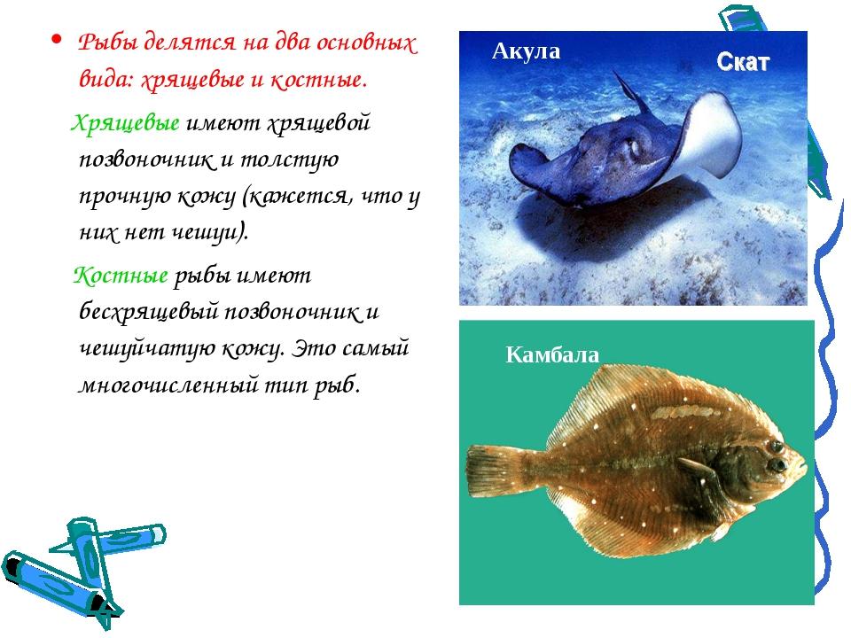 Рыбы делятся на два основных вида: хрящевые и костные. Хрящевые имеют хрящево...