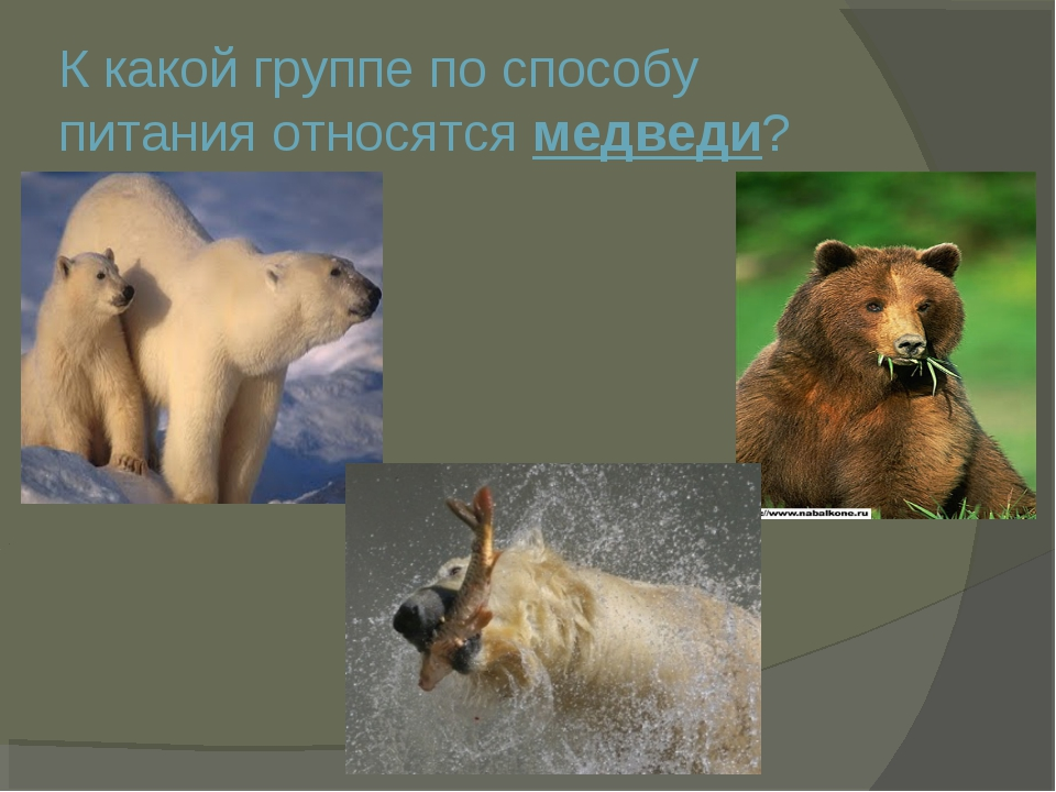 К какой группе по способу питания относятся медведи?