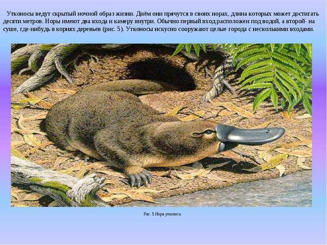 Утконосы ведут скрытый ночной образ жизни. Днём они прячутся в своих норах,...