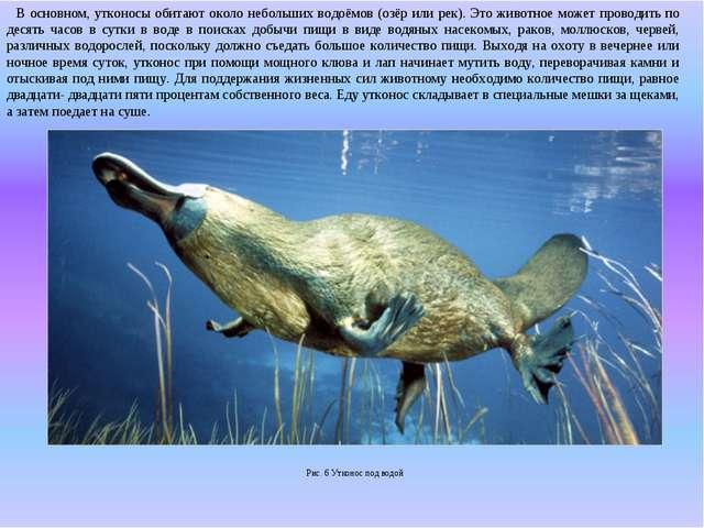 В основном, утконосы обитают около небольших водоёмов (озёр или рек). Это жи...