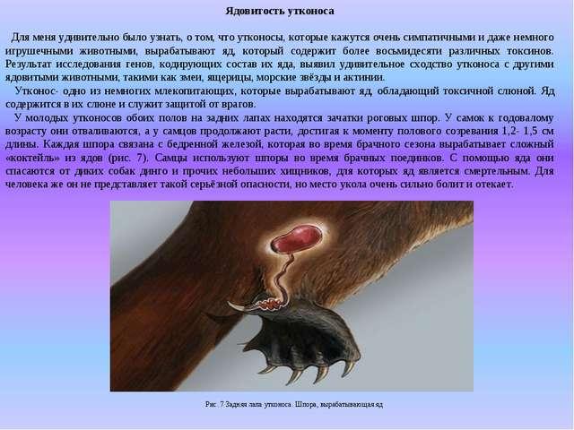 Ядовитость утконоса Для меня удивительно было узнать, о том, что утконосы, ко...