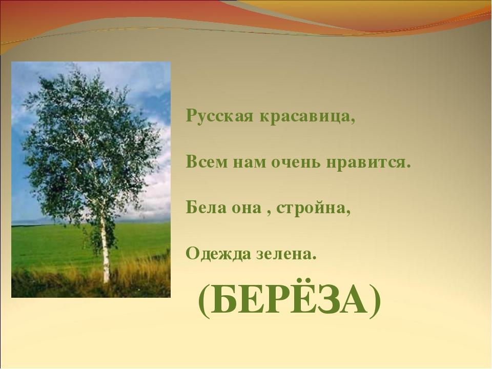 Русская красавица, Всем нам очень нравится. Бела она , стройна, Одежда зелена...