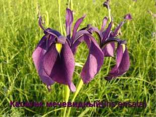 Касатик мечевидный(Iris ensata)