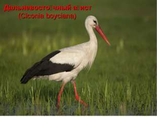 Дальневосто́чный а́ист (Ciconia boyciana)