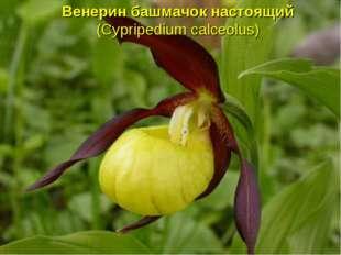 Венерин башмачок настоящий (Cypripedium calceolus)