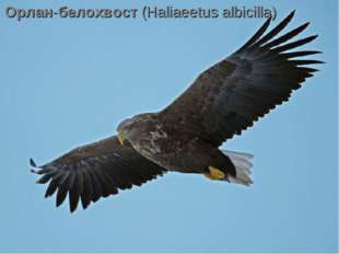 Орлан-белохвост(Haliaeetus albicilla)