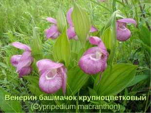 Венерин башмачок крупноцветковый (Cypripedium macranthon)