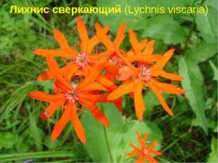 Лихнис сверкающий (Lychnisviscaria)