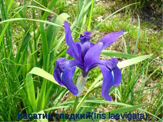 Касатик гладкий(Iris laevigata)