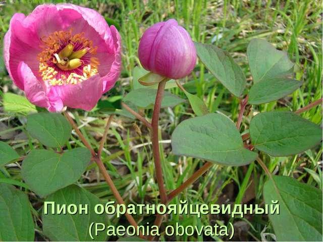 Пион обратнояйцевидный (Paeonia obovata)