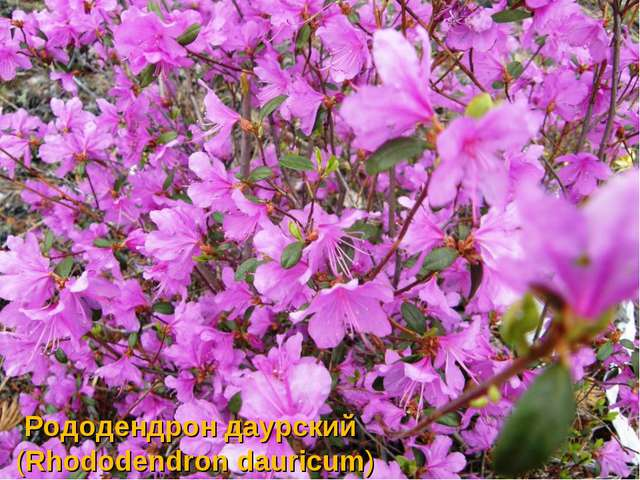 Рододендрондаурский (Rhododendrondauricum)