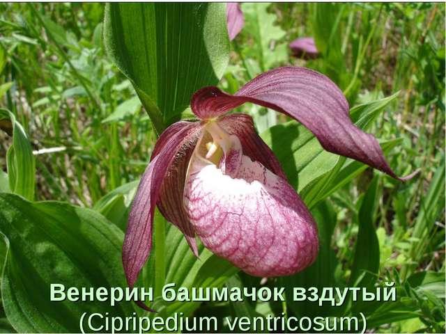 Венерин башмачок вздутый (Cipripedium ventricosum)