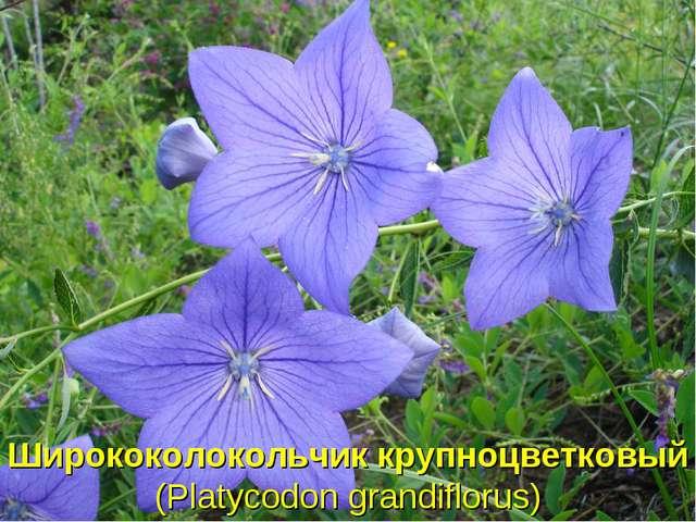 Ширококолокольчик крупноцветковый (Platycodon grandiflorus)