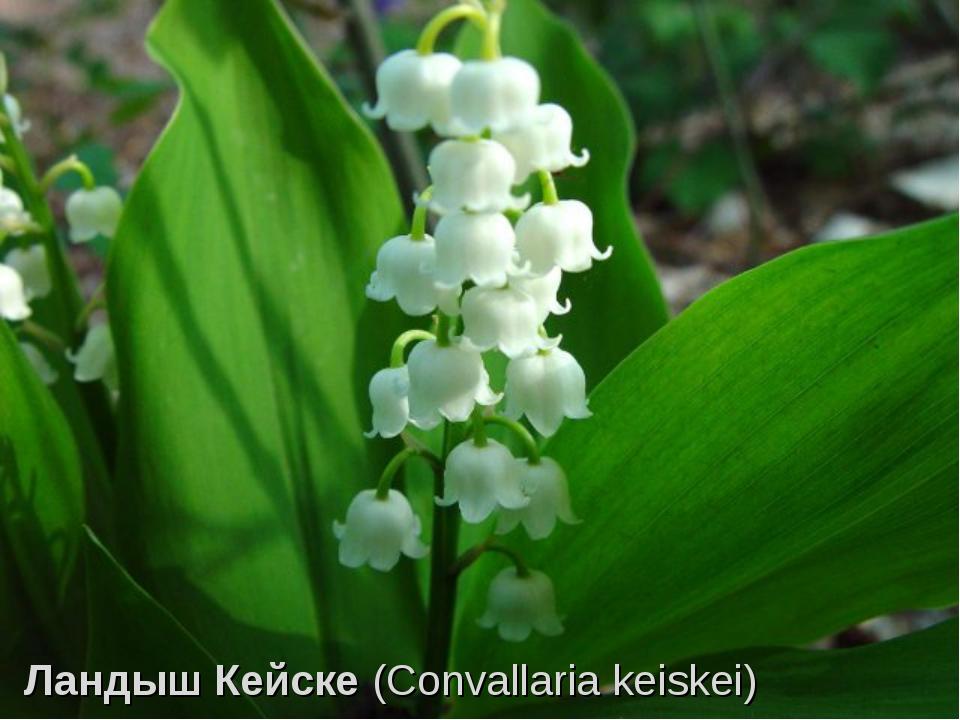 ЛандышКейске(Convallaria keiskei)