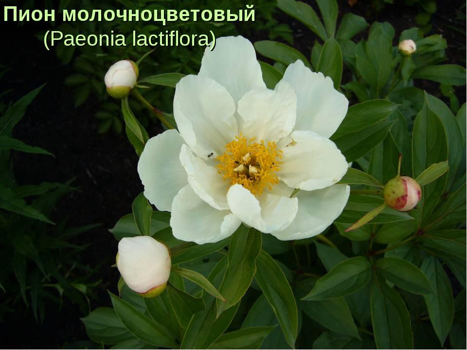 Пион молочноцветовый (Paeonia lactiflora)