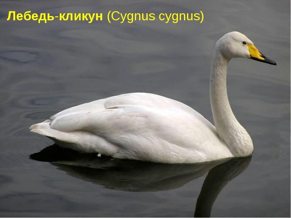 Лебедь-кликун(Cygnuscygnus)