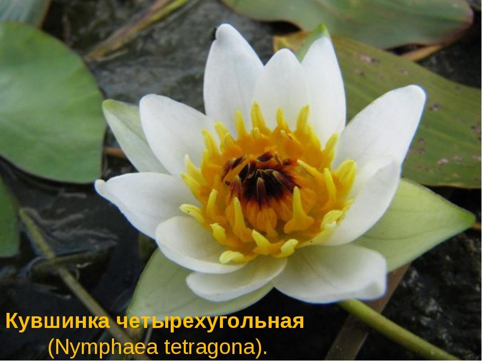Кувшинкачетырехугольная(Nymphaea tetragona).