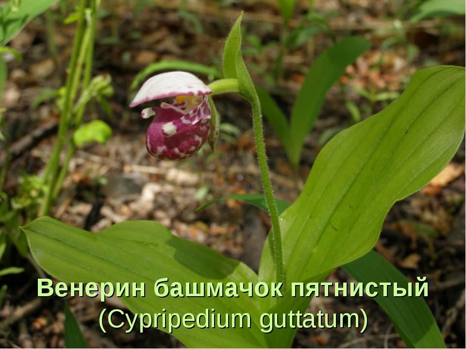 Венерин башмачок пятнистый (Cypripedium guttatum)