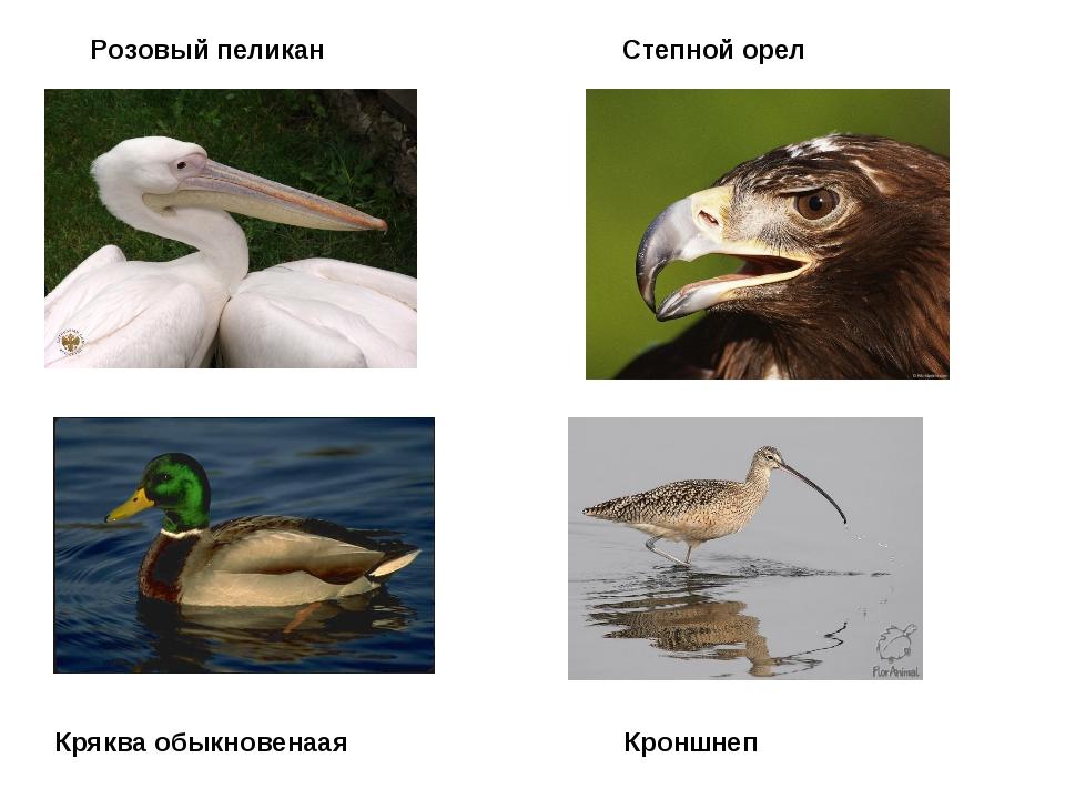 Розовый пеликан Степной орел Кряква обыкновенаая Кроншнеп