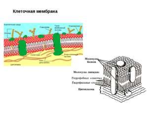 Клеточная мембрана