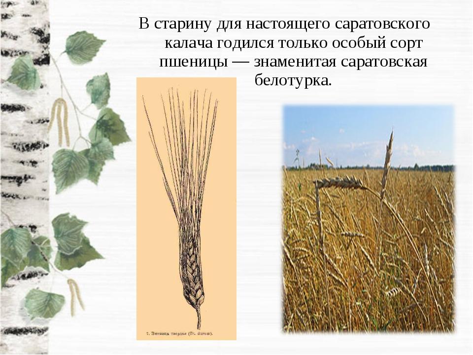 В старину для настоящего саратовского калача годился только особый сорт пшени...