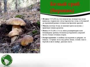 Шляпка3-15 (25) см, толстомясистая, полукруглая, позже выпуклая, гладкая или