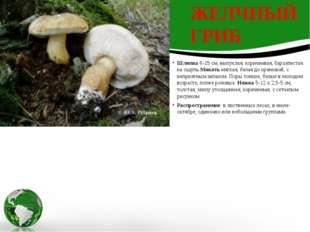 Шляпка6-15 см, выпуклая, коричневая, бархатистая на ощупь.Мякотьмягкая, бел