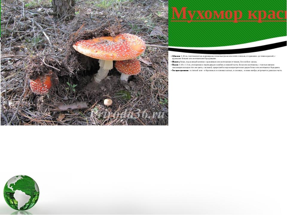 Шляпка5-18 см, толстомясистая, шаровидная, позже выпуклая или почти плоская,...