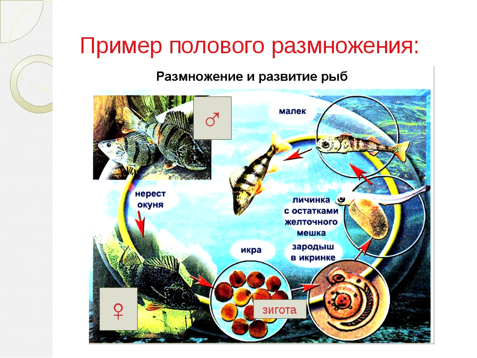 Пример полового размножения: ♀ ♂ зигота