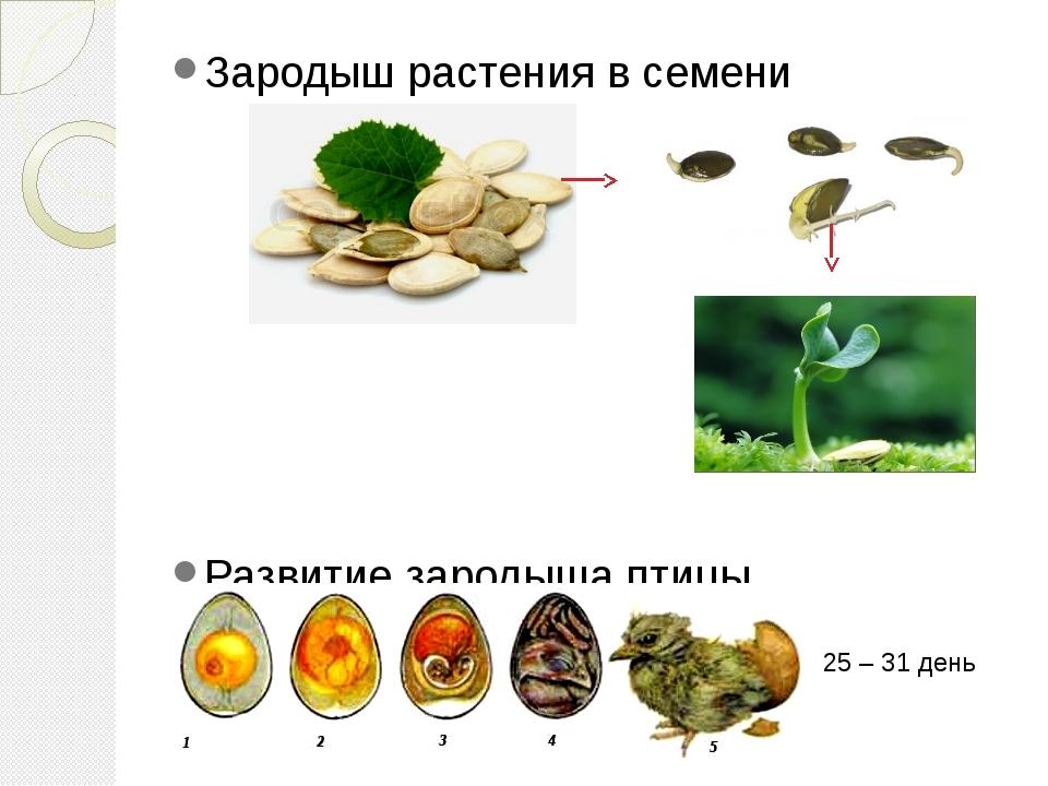 Зародыш растения в семени Развитие зародыша птицы 25 – 31 день