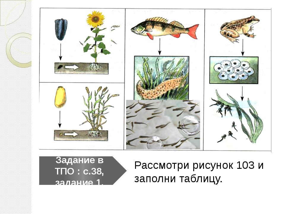 Рассмотри рисунок 103 и заполни таблицу. Задание в ТПО : с.38, задание 1.